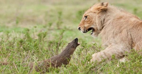 Βίντεο: Γενναία μαγκούστα τα βάζει με τέσσερα λιοντάρια