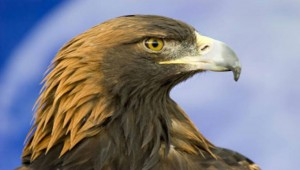 Αετός αγριοκάτσικα