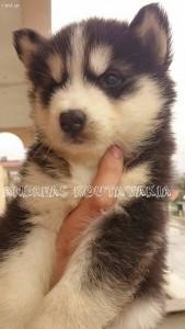 Χάσκι Σκύλος Πωλούνται Αγγελίες alaskan malamute
