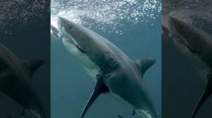 καρχαρίας γέννηση
