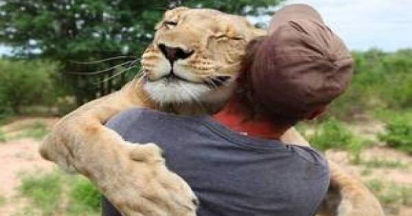 Ένα πολύ συναισθηματικό βίντεο: Λιονταρίνα αγκαλιάζει τον άνθρωπο που την έσωσε