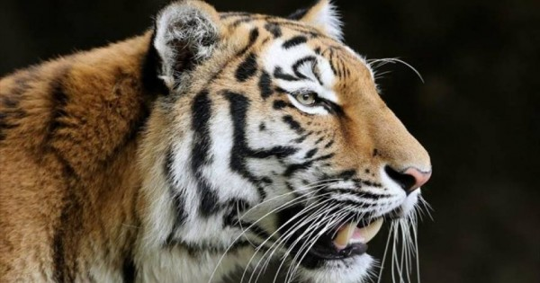 Εντυπωσιακό άλμα τίγρης σε slow motion (βίντεο)