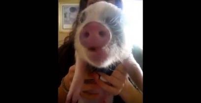 Ένα μικρό γουρούνι τρώει πατατάκια (βίντεο)