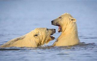 Μοναδικά στιγμιότυπα: Κολυμπώντας με τις πολικές αρκούδες στην Αλάσκα