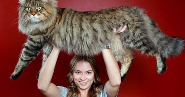 Αυτές είναι οι μεγαλύτερες γάτες του κόσμου!