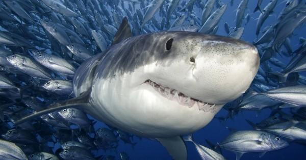 Στο εσωτερικό του στόματος ενός καρχαρία (photos)