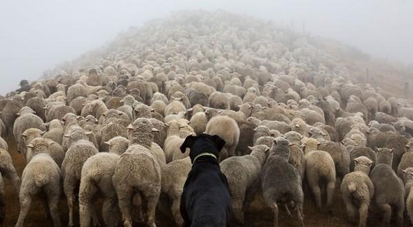 20150224084018730424working-dog-photography-shepherds-realm-andrew-fladeboe-11-600x450-600x330