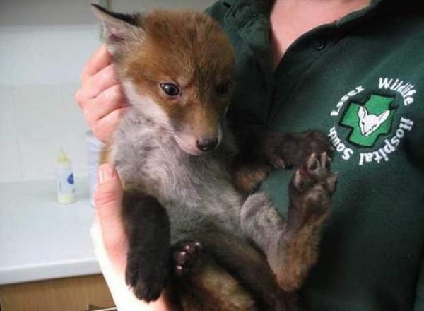 διάσωση αλεπού