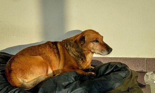 Σκύλος Σιβηρία αφεντικό