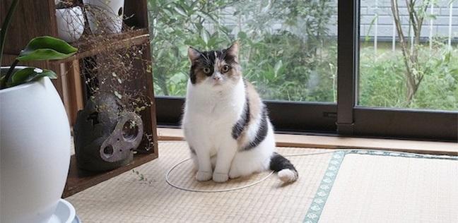 παγίδα κύκλος Γάτα