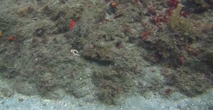 Camo-Octopus