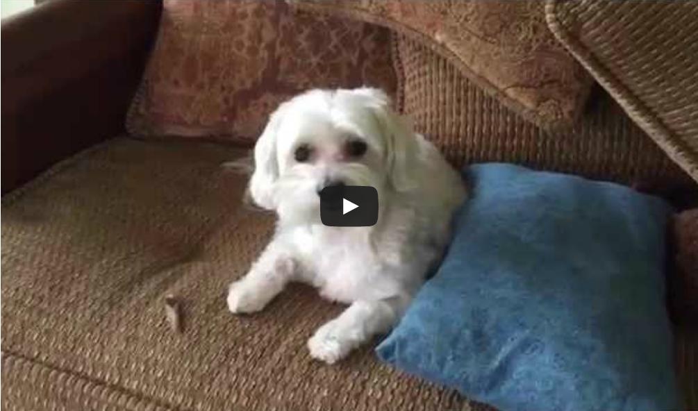 Σκύλος ένοχος