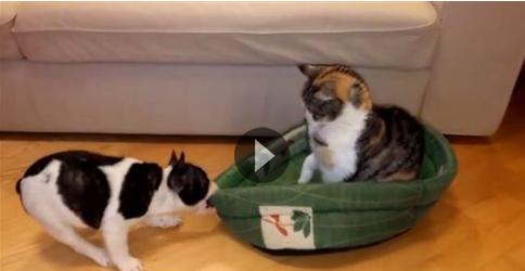 Κουτάβι θέλει πίσω το κρεβάτι του από τον «κλέφτη» γάτο! (video)