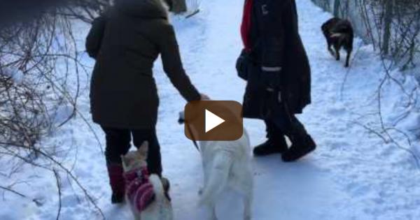 Απίστευτο! Σκύλος βγάζει βόλτα σκύλο!