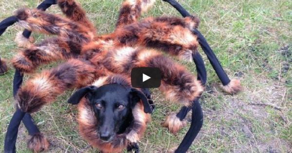 Καλύτερη φάρσα ever: Ο σκύλος-αράχνη σκορπά τον τρόμο!