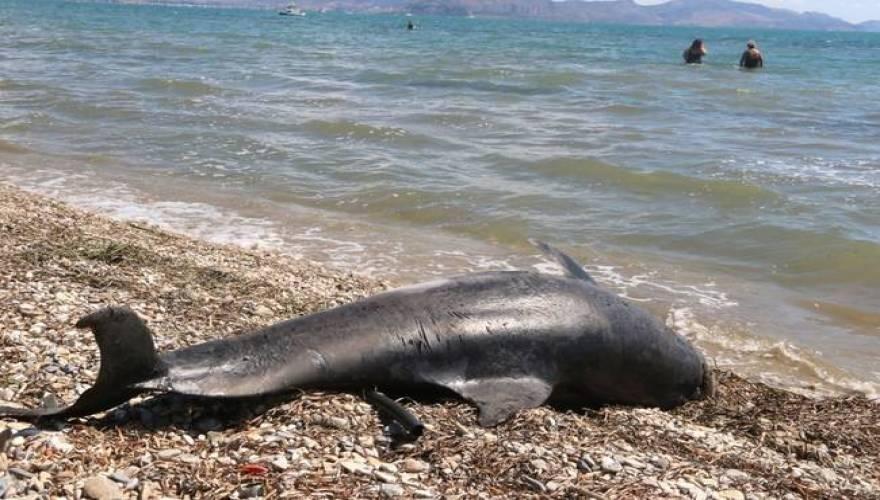 Κρήτη δελφίνι