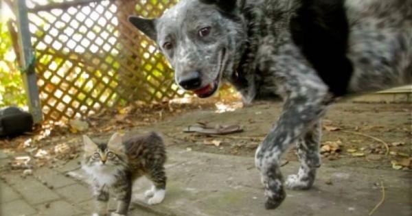 Φοβερό βίντεο: Σκύλος γίνεται φύλακας-άγγελος για γατάκι με κινητικά προβλήματα!