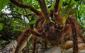 Η αράχνη-Γολιάθ: Ο Βασιλιάς των αραχνοειδών