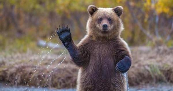 Χαρούμενες αρκούδες χαιρετούν σαν να ήταν άνθρωποι (εικόνες)