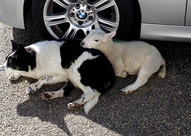 Σκύλος κατοικίδιο αρνί