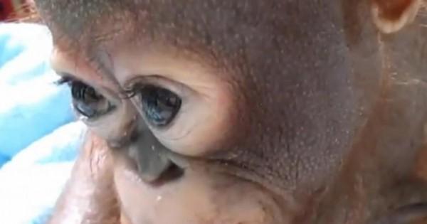 Μεγάλη συγκίνηση: Μωρό ουρακοτάγκος δακρύζει την ώρα που το φροντίζουν οι διασώστες του! (βίντεο, εικόνες)