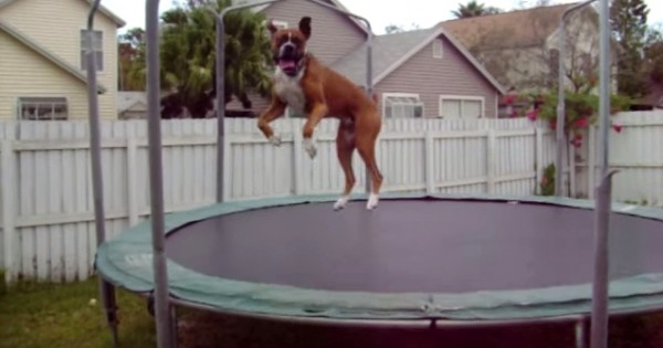 Σκύλος μπόξερ κάνει τραμπολίνο και σαρώνει στο διαδίκτυο (video)