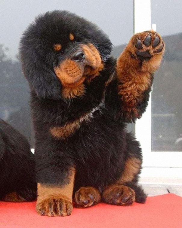Τσόου τσόου Σκύλος Σαμουαγιέν σαμογιεντ πούντλ Πομεράνιαν παχουλά σκυλάκια ντουντλ Νιουφάουντλαντ Μολοσσός Αλάσκας μαστίφ κόργκι Κίσοντ Καυκασιανό Οβκάρκα Εσκιμώ γερμανικός ποιμενικός αρκουδάκια Ακίτα doodle Corgi