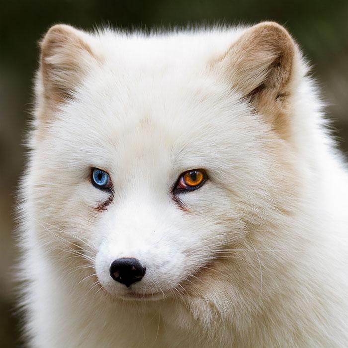 ζώα ετεροχρωμία