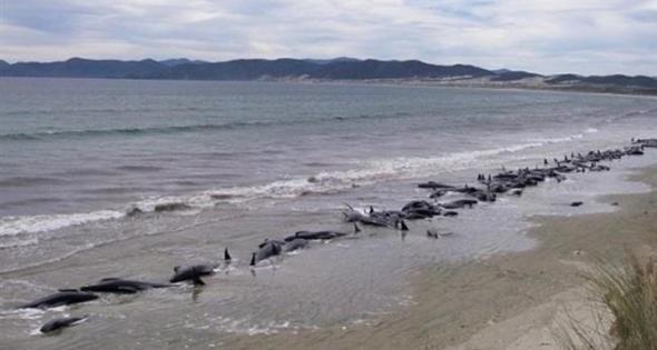Νέα Ζηλανδία: Φρίκη με δεκάδες νεκρές φάλαινες στην παραλία