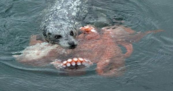 Φώκια vs χταπόδι: Δείτε ποιο ζώο νίκησε σε αυτή τη μάχη επιβίωσης (εικόνες)