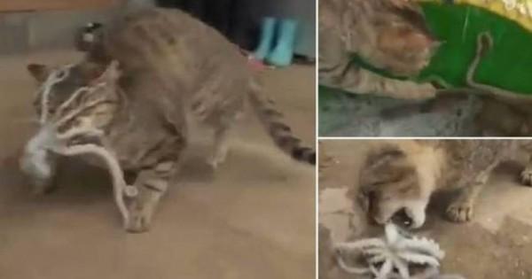 Γάτα εναντίον χταποδιού – Μη βιαστείτε να ποντάρετε στο νικητή [βίντεο]
