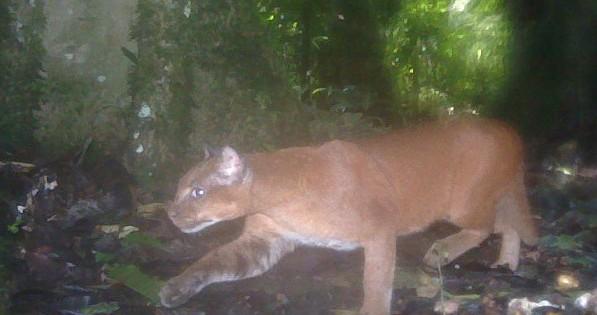 Η πιο σπάνια γάτα του κόσμου επιτίθεται σε μια ομάδα πιθήκων! (vid)
