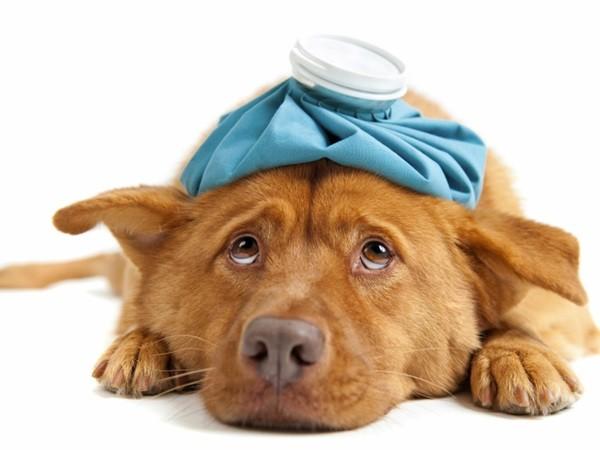 Σκύλος Δηλητηρίαση Γάτα