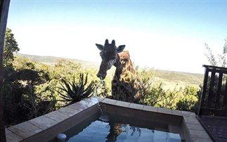 Μια καμηλοπάρδαλη σβήνει τη δίψα της σε πισίνα (βίντεο)