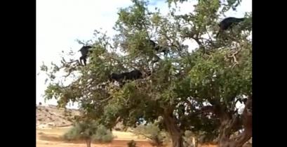 Ούτε 1, ούτε 2, αλλά 16 κατσίκες πάνω σε ένα δέντρο (βίντεο)