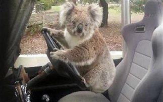 Ένα κοάλα οδηγός (εικόνες)