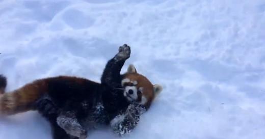 Εντάξει λιώνω – Κόκκινα πάντα παίζουν με το χιόνι (εικόνες,βίντεο)