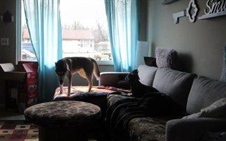 Τι συμβαίνει όταν οι σκύλοι μένουν μόνοι στο σπίτι (βίντεο)