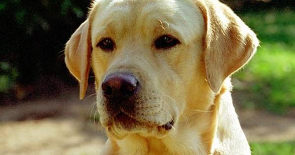 Ένα αφιέρωμα για τα αγαπημένα μας Labrador (Video)