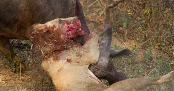 Συγκλονιστική μάχη επιβίωσης ανάμεσα σε ένα λιοντάρι και ένα βουβάλι (εικόνες)