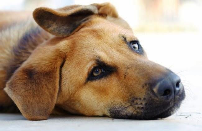φυτοφάρμακα φόλες Σκύλος