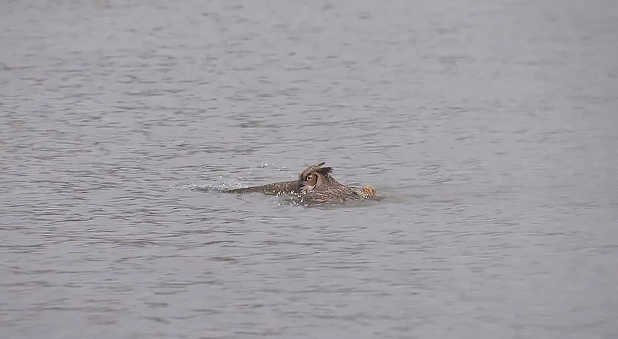 owl-can-swim-lake-michigan-3
