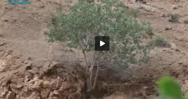 Δείτε το καμουφλάζ της θανάσιμης οχιάς-αράχνης (βίντεο)