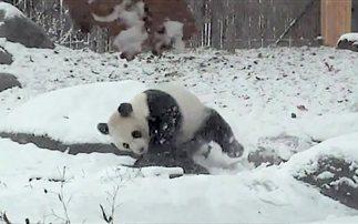 Ώρα για παιχνίδι: Το γιγάντιο πάντα που ξετρελαίνεται για το χιόνι! (βίντεο)