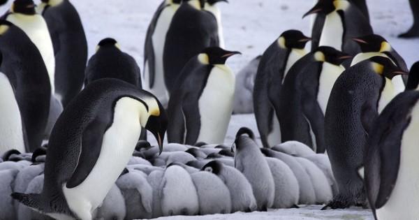 Οι εικόνες αυτές θα σας κάνουν να λιώστε: Πιγκουίνοι ζεσταίνουν τα μωράκια τους!
