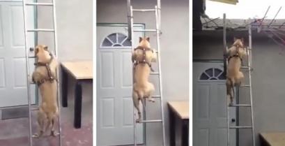Ένα φοβερό πίτμπουλ ανεβαίνει τη σκάλα σαν άνθρωπος (βίντεο)