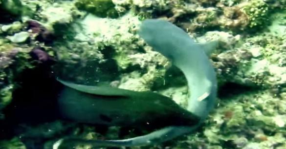 Δείτε μια γιγαντιαία σμέρνα καταβροχθίζει έναν καρχαρία (βίντεο)