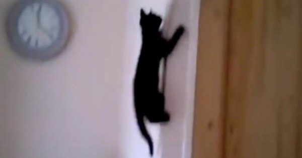 Spider Cats: Οι γάτες που σκαρφαλώνουν παντού! (video)