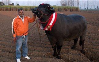 Το σπέρμα του ταύρου-πρωταθλητή αξίζει πάνω από 4.000 ευρώ (εικόνες)