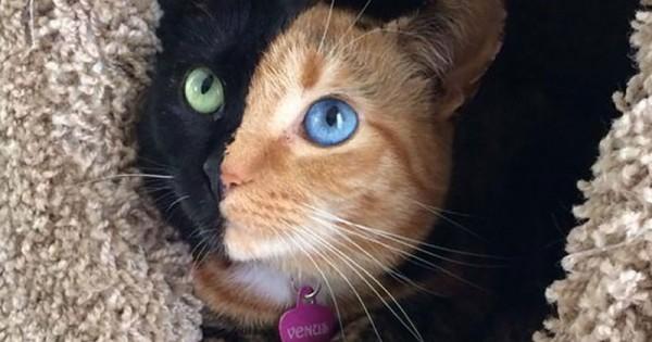 Venus: Η πανέμορφη γάτα με τα δύο πρόσωπα! (εικόνες)